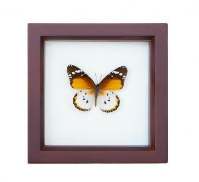 Framed Plain Tiger (Danaus chrysippus alcippus)