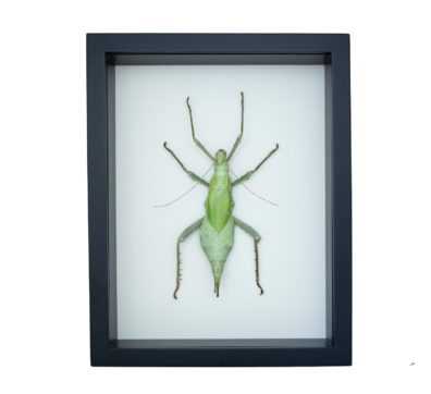 Framed Jungle Nymph (Heteropteryx dilatata)