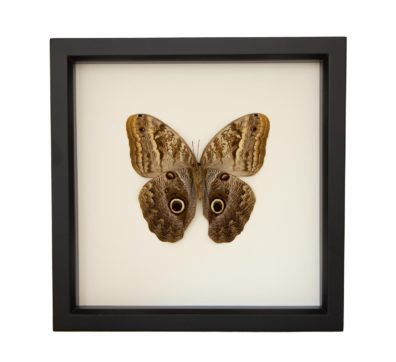 Framed Owl Butterfly Underside (Caligio species)