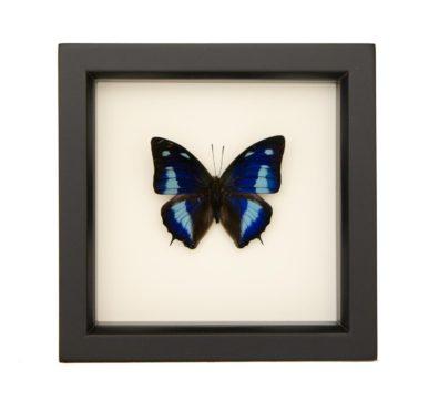 framed Polygrapha cyanea