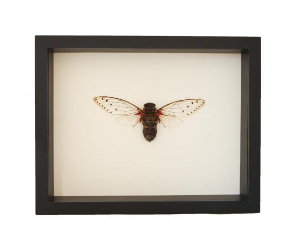 framed-Megapomponia-imperatoria
