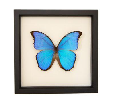 Framed Blue Morpho Didius (Morpho didius)
