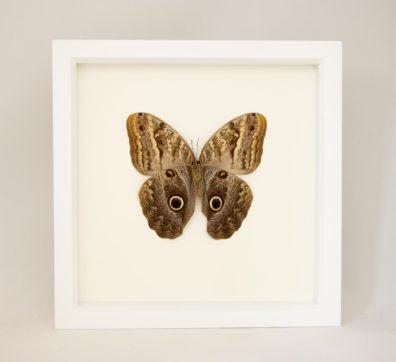 Framed Owl Butterfly Underside (Caligio species)