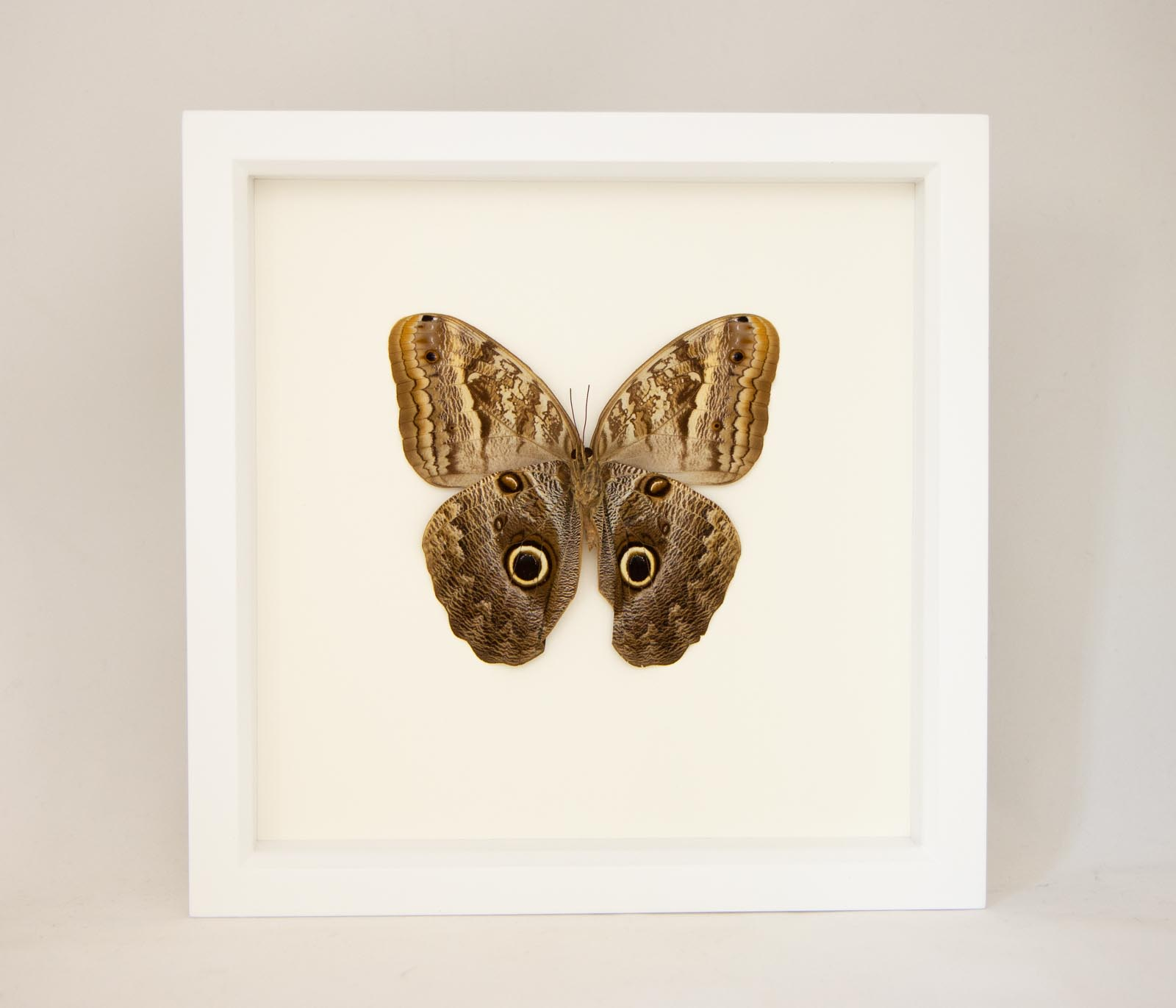 Frame butterfly Kaligo Memnon or Owl butterfly taxidermy insect real bug