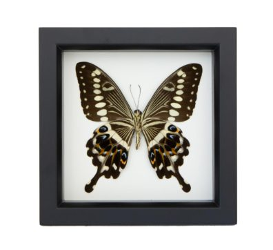 Framed Central Emperor Swallowtail underside (Papilio lormieri)