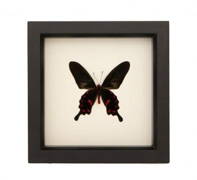 Framed Pink Rose Butterfly underside (Pachliopta kotzebuea)
