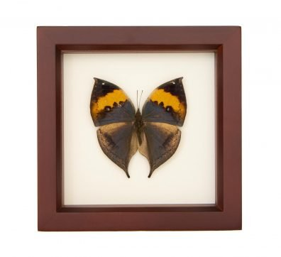 Framed Indian Oakleaf Butterfly (Kallima inachus)