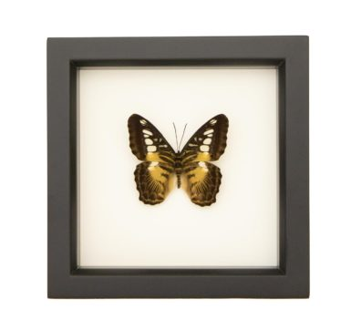 Framed Clipper Butterfly (Parthenos sylvia)
