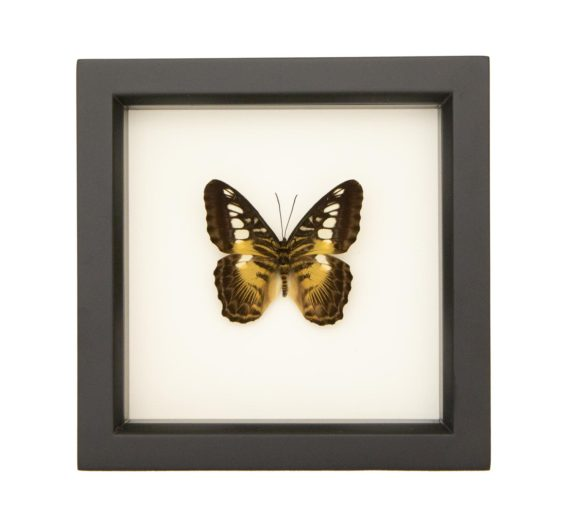 parthenos sylvia framed