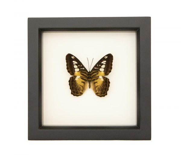 parthenos sylvia framed