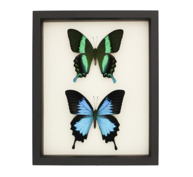 Framed Sister Swallowtails