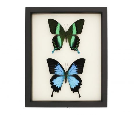 sister swallowtails
