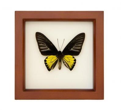 Framed Golden Birdwing Butterfly (Troides rhadamantus)