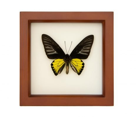 golden birdwing troides rhadamantus