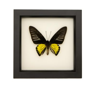 Framed Golden Birdwing Butterfly (Troides rhadamantus)
