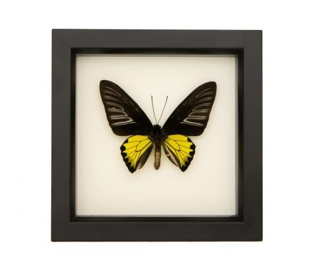 framed troides rhadamantus troides