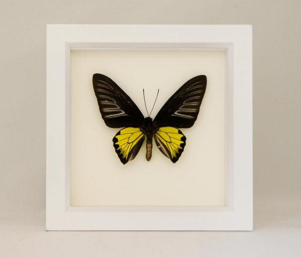 golden birdwing taxidermy