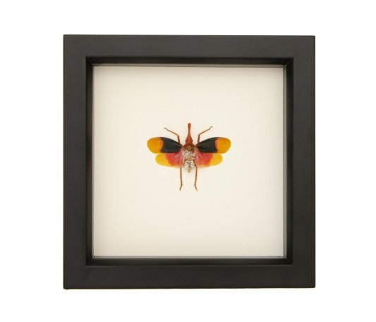 Framed Red Head Planthopper