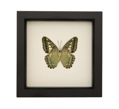 Framed Clipper Butterfly underside (Parthenos sylvia)