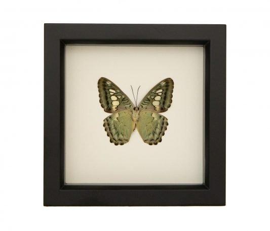 Clipper Butterfly (underside)