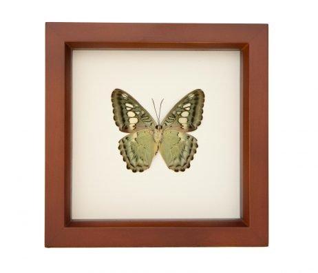 clipper butterfly underside