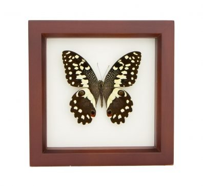 Framed Christmas Butterfly (Papilio demodocus)