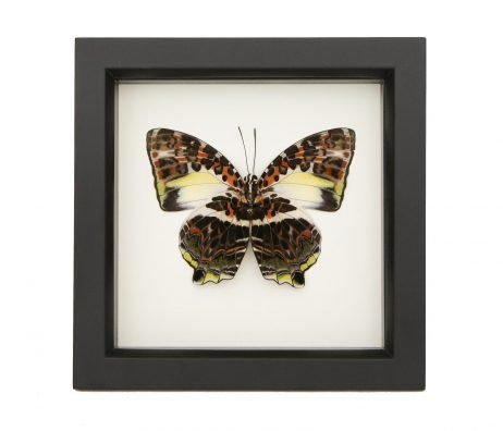 framed Agatasa Calydonia
