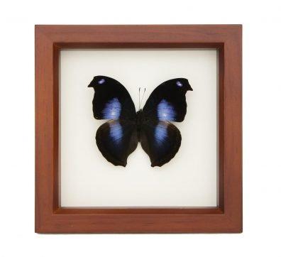 Framed Blue Moonset Hookwing (Napeocles jucunda)