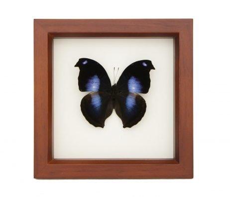 framed Napeocles jucunda