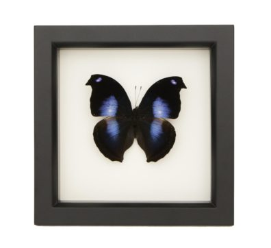 Framed Blue Moonset Hookwing (Napeocles jucunda)
