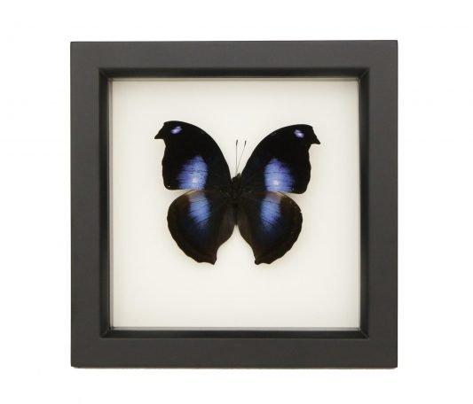 Blue Moonlit Hookwing Butterfly