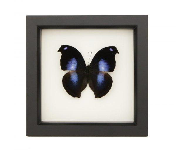blue hookwing butterfly