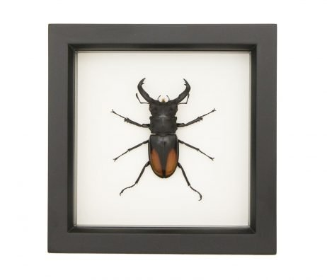giant fighting stag beetle