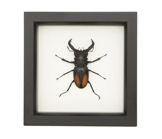 Fighting Stag Beetle