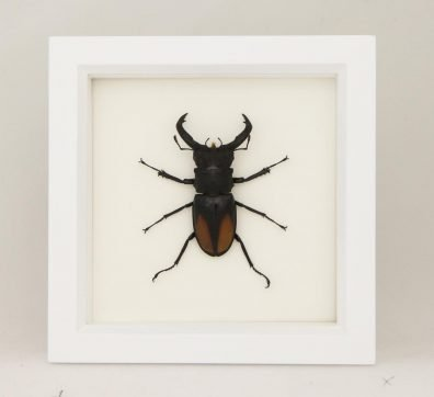Framed Fighting Stag Beetle (Hexarthrius parryi)