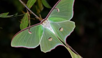Actias_luna_low-res