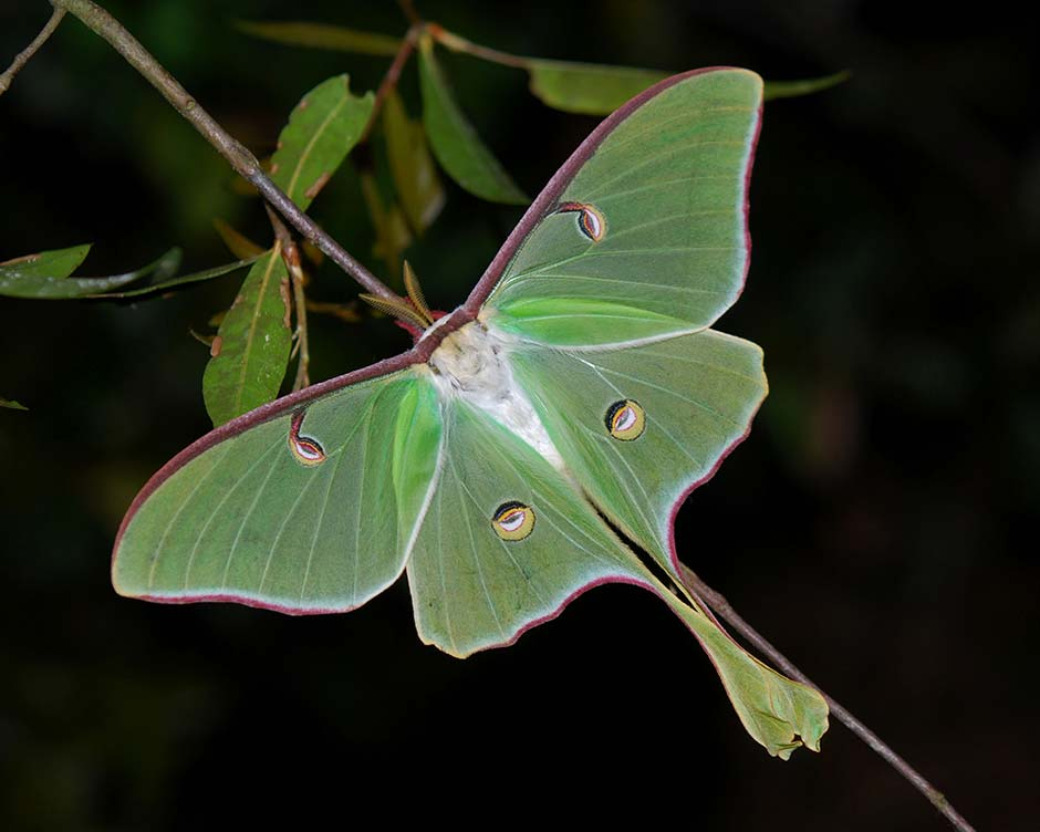 luna moth resting