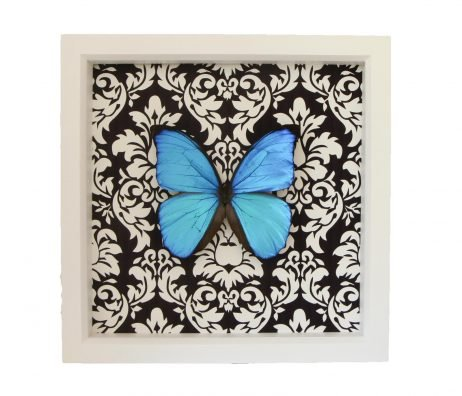 blue morpho damask white frame