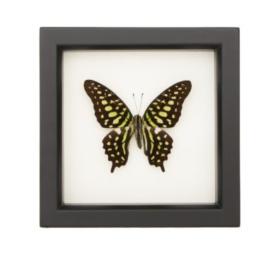 Framed Green Tailed Jay (Graphium agamemnon)
