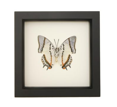 Framed Shan Nawab Butterfly (Polyura nepenthes)
