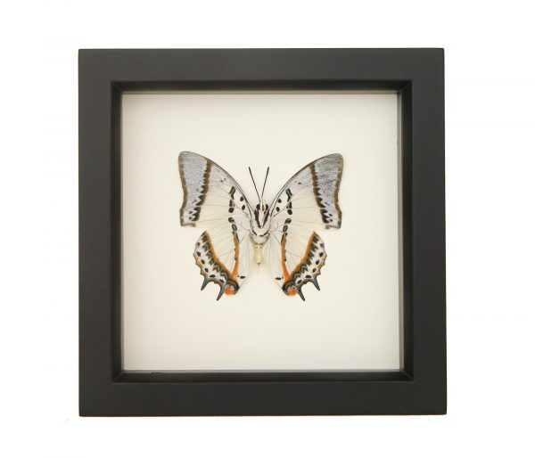 framed Polyura nepenthes