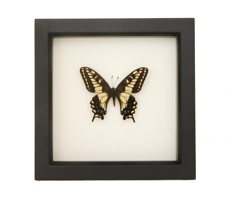 framed anise swallowtail
