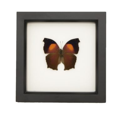 Framed Lilac Mother of Pearl Butterfly (Salamis cacta)