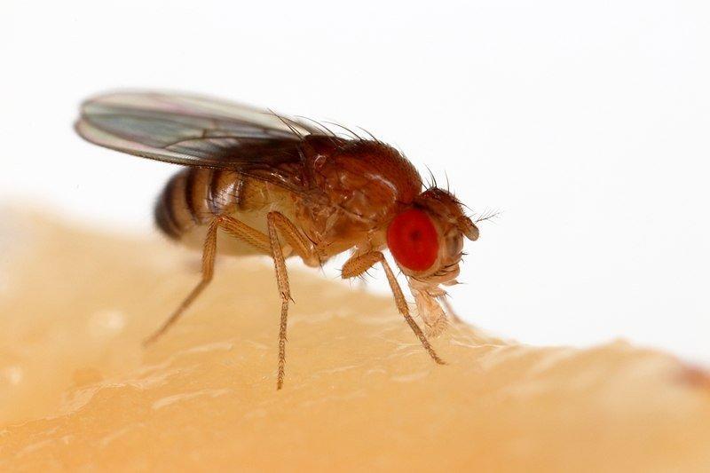 fruit fly sleeping