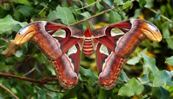 atlas moth in nature