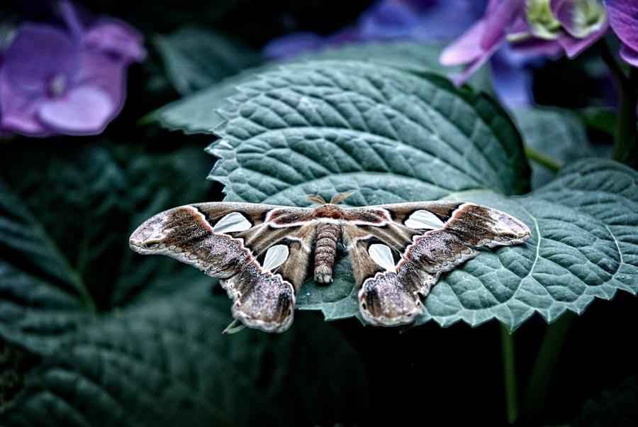 atlas moth resting