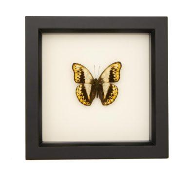Framed Herminia Glider (Cymothoe hermenia)