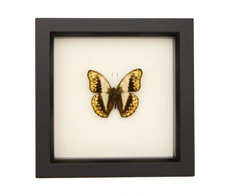 framed Cymothoe hermenia