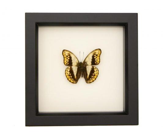 Framed Herminia Glider