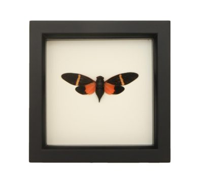 Framed Petite Cicada (Tosena paviei)